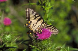swallowtail butterfly, bee, thistle