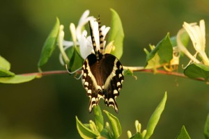 swallowtail butterfly, lights, flower, nectar, life