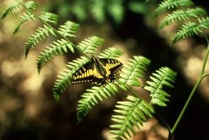 swallowtail butterfly, fern, plant
