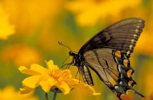 Tiger swallowtail πεταλούδα, εντόμων, από κοντά, κίτρινα λουλούδια