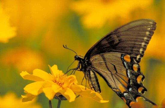 leptir lastin rep tigar, insekata, sresti, žuti cvjetovi
