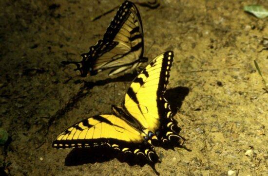 leptir lastin rep tigar, insekata, papilio, Glauka, linnaeus