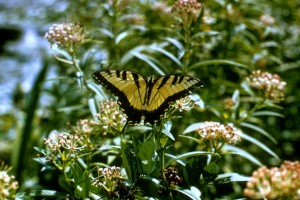 tiger swallowtail butterfly, papilio, glaucus, linnaeus, insecta, lepidoptera, papilionidae