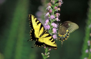 tiger swallowtail, dense, blazingstar, flower