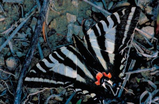 Zebra, leptir lastin rep, eurytides, protesilaus, krila, širenje, otvoren
