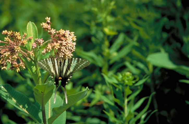 Zebra, leptir lastin rep, eurytides, protesilaus, svijetlo plava, Crna, prugasta, krila, vješanje, cvijet