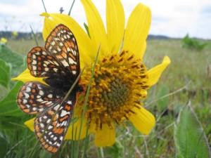 taylor, checkerspot, butterfly, yellowish, flower, euphydryas, editha, taylori