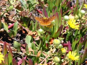 en voie de disparition, myrte, Silverspot, papillon, insecte, Speyeria, zerene, myrtleae