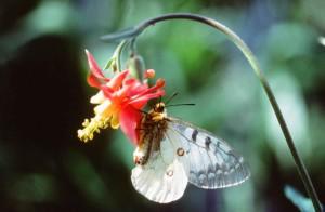 parnassian, butterfly, member, swallowtail, family