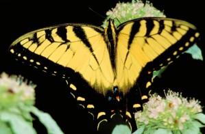 Tiger Schmetterling, Insekt