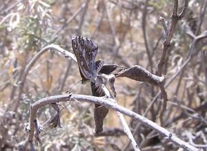 ventral, endangered, lange, metalmark, butterfly