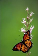 farfalla, piccolo, insetto, fiore giallo