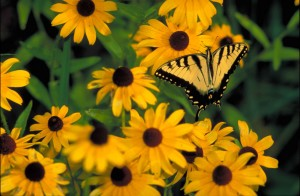 yellow, butterfly, black, tiger stripes, wings, sitting, yellow, blossoms, brown, centers