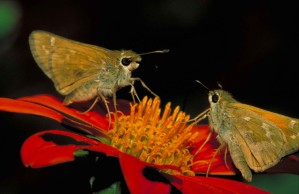 jaune, bronzage, leonard, skipper, papillon, debout, rouge, fleur, hesperia, leonardus, leonardus