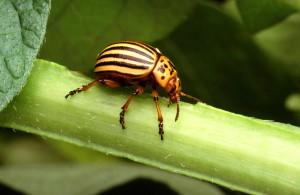 colorado, potato, beetle, insect