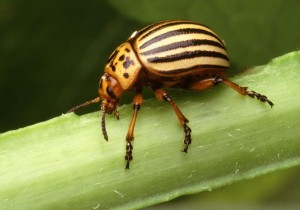 colorado, potato, beetle, leptinotarsa, decemlineata, insect