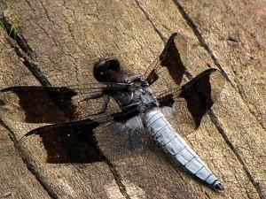 anisozygoptera, capung, makro, serangga, fotografi