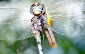dragonfly, up-close, macro, photo