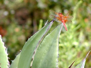 dragonfly, dragonflies, cactuses