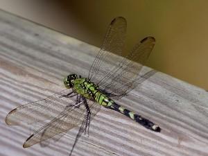 dragonfly, flight