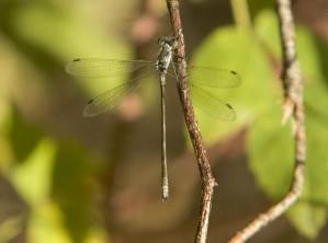 libellule, insecte, herbe