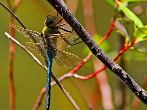 dragonfly, dragonflies, wings, bugs, insects