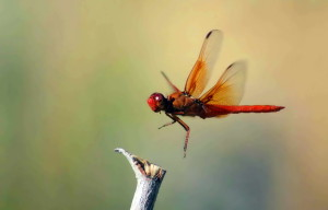 flame, skimmer, insect, dragonfly