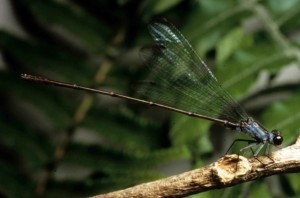 flying, earwig, hawaiian, damselfly, dragonfly, insect, megalagrion, nesiotes