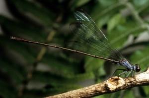 voler, earwig, hawaïen, damselfly, libellule, insecte, megalagrion, nesiotes