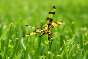halloween, pennant, dragonfly, lands, blade, grass