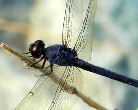 lancette, gomphe, gomphus, exilis, libellule, insecte