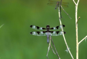 twelve, spot, skimmer, dragonfly, lights, twig, libellula, pulchella