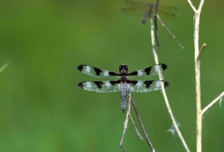 dodici, spot, skimmer, Libellula, luci, ramoscello, libellula, pulchella