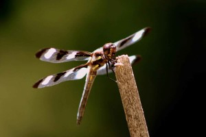 twelve, spotted, skimmer, dragonfly, insect, branch, libellula, pulchella