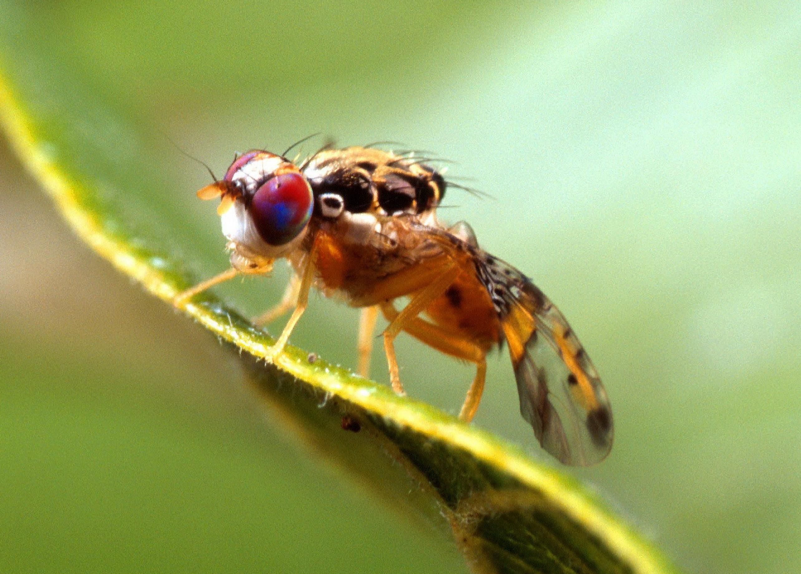 Free picture: ceratitis capitata mediterranean, fruit, fly