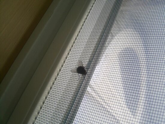 common, house, fly, screen, window