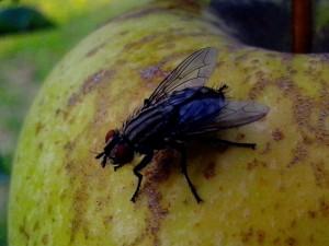 les mouches domestiques, jaune, pomme