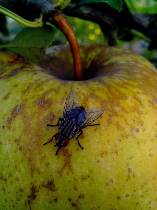 domestic fly, insect, apple