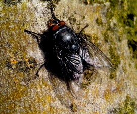 domestic fly, insect, rock
