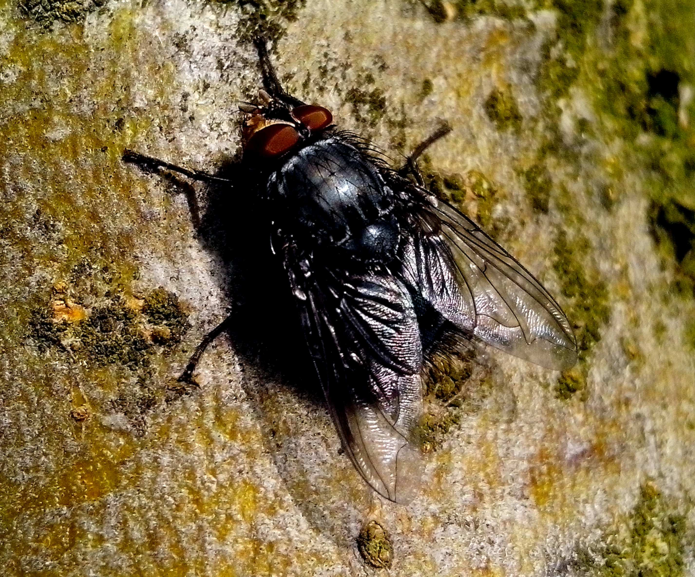 Free photograph; domestic, fly, insect, rock