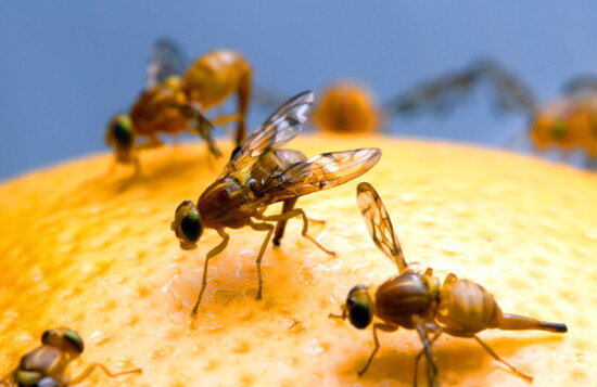 female, mexican, fruit, fly, insect
