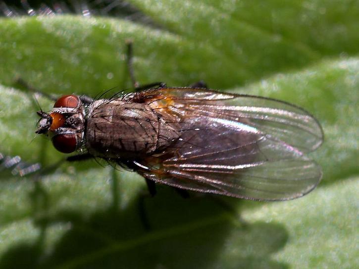 mouches, mouche, ailes, insectes