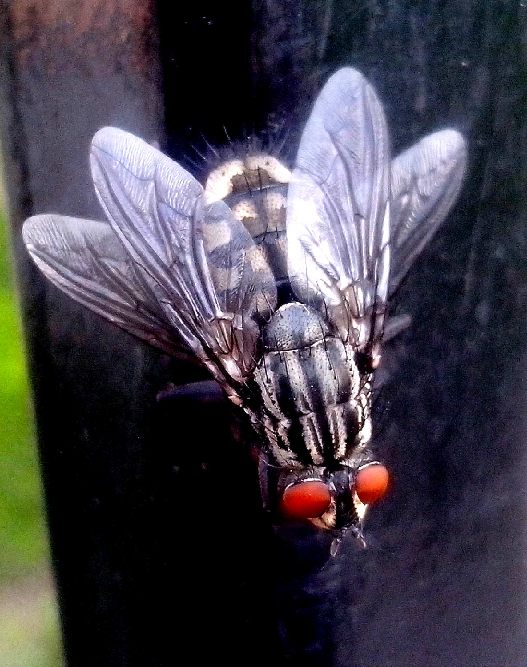 Free photograph; flies, insects, macro