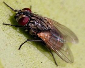 mouche, insecte, musca, domestica