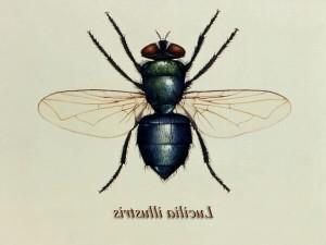 illustration, vert, bouteille, mouche, Lucilia, illustris, membre, famille, Calliphoridae