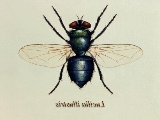 illustration, green, bottle, fly, lucilia, illustris, member, family, calliphoridae