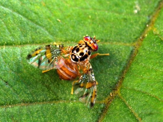 medfly, insect
