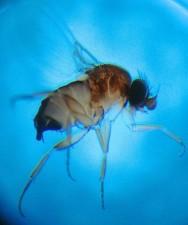 phorid, humpbacked, fly