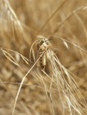 rhaphiomidas, terminatus, abdominalis, insect, fly