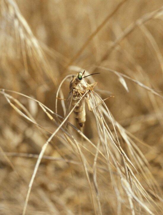 rhaphiomidas terminatus abdominalis, insect, fly